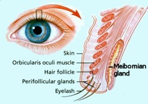meibomian glands diagram